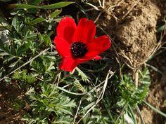 Anemone coronaria Anemone, Flowers, Herbs