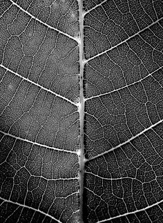 #leaf #skeleton