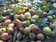 Both the leaves and fruit of the guava may be used as a natural cure.