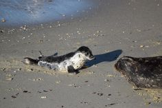 Baby harbor seal on the beach with his mom at Children's Pool in La Jolla CA http://ift.tt/2ld88gN