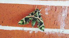 Ejder Kelebeği  Çanakkale