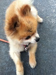 Pomeranian x    Like, repin, share! :)