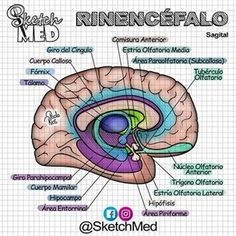 Sketch Med - Paola Rios (@sketchmed) • Fotos y videos de Instagram Medical Students, Medical School, Medical Anatomy, Med School, Radiology, Psychology, Medicine, Geek Stuff, Study