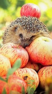 Apples and a hedgehog.