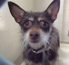 7/21/2016URGENT-*PUPPY* #A4961450 I'm an approximately 1 year old female Terrier. I am not yet spayed. I have been at the Carson Animal Care Center since 6/15. I will be available on 6/19 https://www.facebook.com/savingcarsonshelterdogs/photos/a.219655291540446.1073741846.171850219654287/613305815508723/?type=3&theater