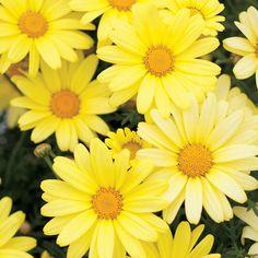 Argyranthemum Butterfly from Proven Winners