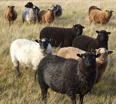 Different coloured sheep in the fields. Black sheep. White Sheep.