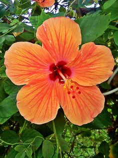 Amapola - Beautiful Hibiscus Flower