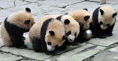 Panda cubs huddled together