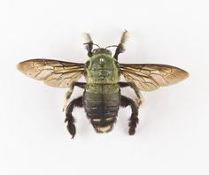Xylocopa sp., carpenter bee, dried specimen