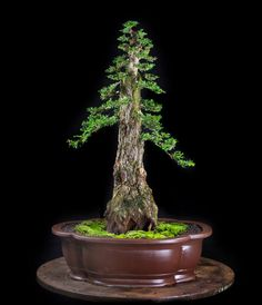 Indoor Bonsai Tree, Bonsai Plants, Bonsai Garden, Bonsai Trees, Greenhouse Gardening, Gardening Tips, Unusual Flowers, Earthship, Topiary