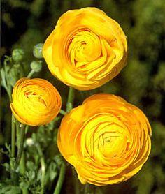 @Janetta Burt Look!  Pretty yellow ranunculus.  They'd make a lovely bridal bouquet.