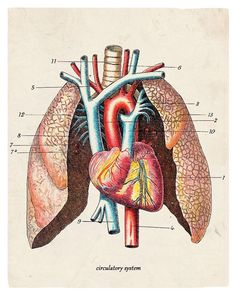 The Anatomy Lung Diagram Antique Illustration 8 x 10 Giclee Art Print ...