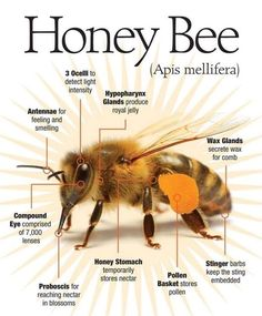 The Honey Bee Anatomy 🐝 Honey Bee Facts, Beekeeping For Beginners, Backyard Beekeeping, Bees And Wasps, Bee Friendly, Bee Art, Save The Bees, Bee Happy, Gardens