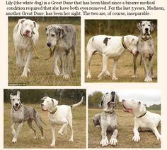You have to see this full size. Lily, a blind Great Dane, and her guide dog Madison (another Dane). What an example of unconditional love and loyalty!  :)