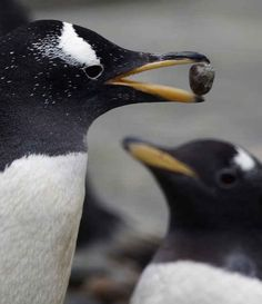 Gentoo penguins propose to their lifemates with a pebble / 27 Animal Facts That Will Brighten Your Day