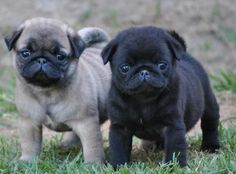 All I want is to own/love these little guys forever   ...........click here to find out more     http://googydog.com