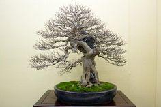 Chinese maple bonsai tree