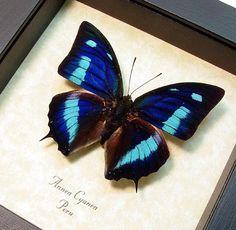 Framed Butterfly Real Blue Sky Butterfly by REALBUTTERFLYGIFTS, $29.99