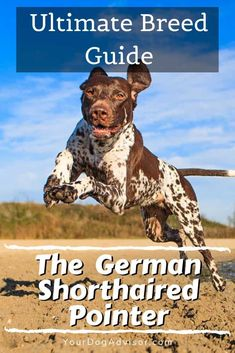 The German Shorthaired Pointer - Ultimate Breed Information Guide   Your Dog Advisor Pointer Puppies, Pointer Dog, Training Your Puppy, Training Tips, Dog Facts, Companion Dog, German Shorthaired Pointer, Large Dog Breeds, Baby Puppies