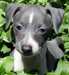 Here are some of the best dog foods for Italian Greyhounds and Italian Greyhound puppies. Best dry dog food and natural supplements for our beloved IG's. Pitbull Puppies For Sale, Whippet Puppies, Whippets, Dogs And Puppies, Miniature Italian Greyhound, Italian Greyhound Puppies, Best Puppy Food, Best Dry Dog Food, Grey Hound Dog