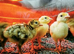 How to Incubate and Care for Turkey Eggs. For Dad Includes humidity changes and temperatures.