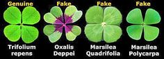 fun facts about four-leaf clovers. shamrocks.