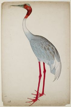 mughalshit:  Sarus Crane by Shaikh Zain ud-Din India (Kolkata), Mughal, c. 1770 - 1785 Gouache on paper  Found in northern parts of the subc...