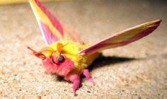 このパステルテイストな蛾の話は前にちらっと触れてはいたが、ツイッター上で話題となっていたので再登場してもらおう。ピンクと黄色の配色があまりにもメルヘンで、しかもふわふわもこもこしてるもんだから、蛾が苦手のお友達も、まずはこの子から耐性を付けていったらいいのかもしれない。 その名も「モモイロヤママユ」、英名は「ロージー・メイプルモス」だ。もうモモイロちゃんって呼べばいいんだと思う。だってほら、カメラ目線で手を振ってちょっとしたアイドル気取りだもの。