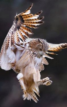 Great horned owl coming in for a landing : Owls - Eule Beautiful Owl, Animals Beautiful, Cute Animals, Majestic Animals, Beautiful Pictures, Owl Photos, Owl Pictures, Owl Bird, Pet Birds
