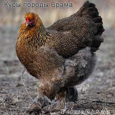 курица породы брама куропатчатая