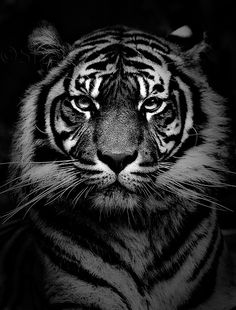 tiger black&white photography