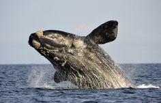 Endangered Southern Right Whales Returning to Mainland New Zealand