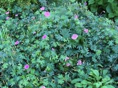 1000 images about low maintenance back yard on pinterest for Hardy low maintenance perennials