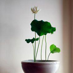 【明るい部屋】植物の快楽/蓮 - Nelumbo nucifera