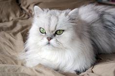 Lindo Gato Persa