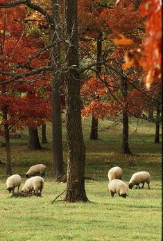 Sheep in a pasture in autumn. Nice foliage.