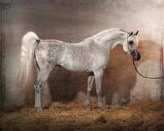 beautiful. Just gorgeous. Dapple grey arabian!! more silvery than anything. Dream horse. I want it! I'd name her Majesty