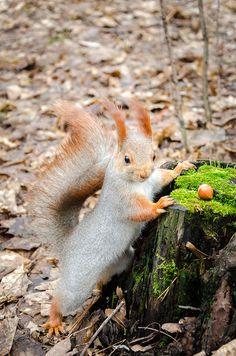 Фото животных » Любитель орешков