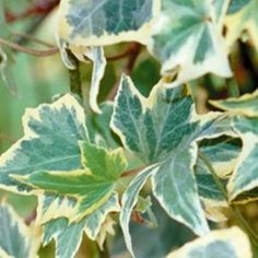 Buy Hedera Yellow Ripple Annual Plants Online. Garden Crossings Online Garden Center offers a large selection of Ivy Plants. Shop our Online Annual catalog today!