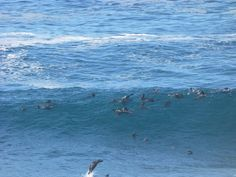 Watch jumping and surfing seals from THE POINT at Robberg Peninsula Nature Reserve in Plettenberg Bay! Nature Reserve, Seals, Beaches, Surfing, Southern, Africa, Waves, World, Outdoor