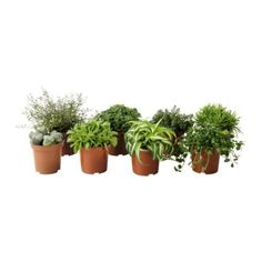 HIMALAYAMIX Potted plant - $2.50; these little plants are so cute and easy to take care of, the spider plant reminds me of 3rd grade when each student grew one