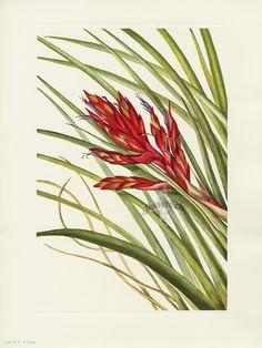 Quill-leaf Tillandsia. Mary Vaux Walcott North American Wildflower Prints 1925