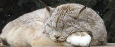 Her name is Kitty, she is a resident of The Wildcat Sanctuary. Love her huge paw pillow!     Keep the wild in your heart, not in your home
