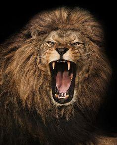 Super Ideas for tattoo lion small beautiful creatures Lion Photography, Brust Tattoo, Lion Quotes, Lion Wallpaper, Lion Pictures, Warrior Quotes, Lion Of Judah, Lion Art, Big Cats
