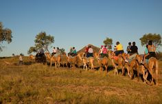 Pyndan Camel Tracks - Alice Springs Camel Rides | Things To Do Alice Springs | Camels In Australia