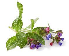A pettyegetett, vagy orvosi tüdőfű teáját a népgyógyászat régóta használja légzőszervi betegségek esetén. Milyen hatóanyagai vannak? Spas, Vegetables, Plants, Fitness, Vegetable Recipes, Plant, Veggies, Planets
