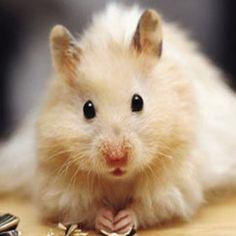 Hamster Golden