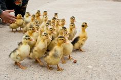 Make way for ducklings... http://frsky.me/18l7aCJ #babyanimals
