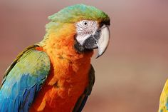 Camelot macaw. one day i will have one :)